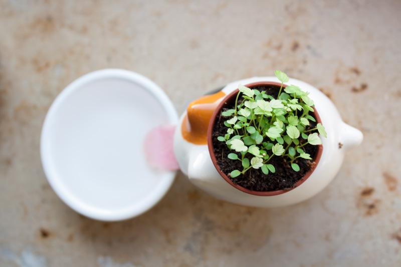 Fraises sauvages qui poussent dans un pot de fleur chat Peropon