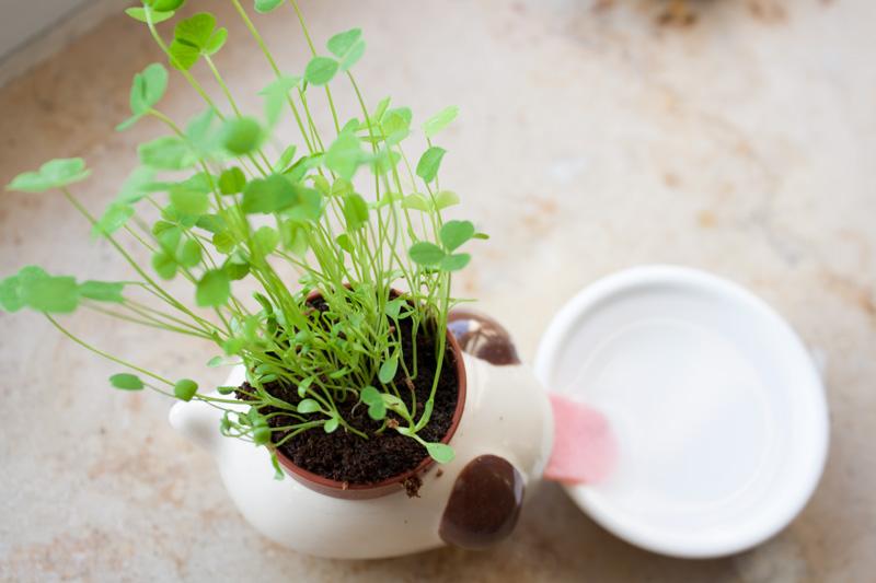 Trèfles qui ont poussé dans le pot de fleur chien Peropon
