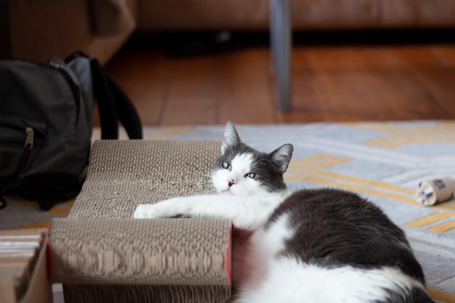 Témoignage d'adoption de mon chat, Hippo, en Allemagne - Chat sur son grattoir en carton