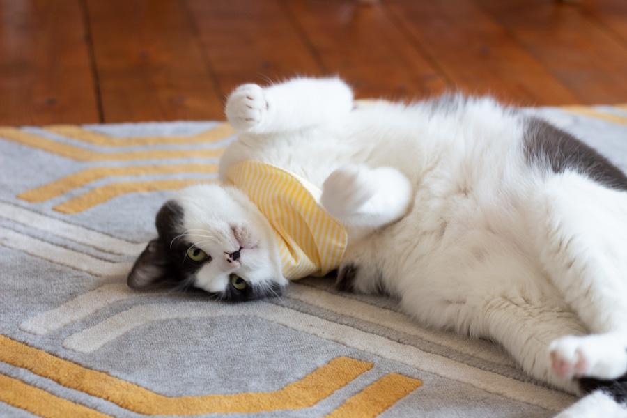 Adoption d'un chat en Allemagne - Témoignage - Hippo avec son bandana