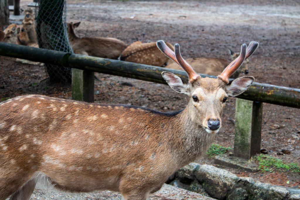 50 souvenirs du Japon - Cerfs à Nara